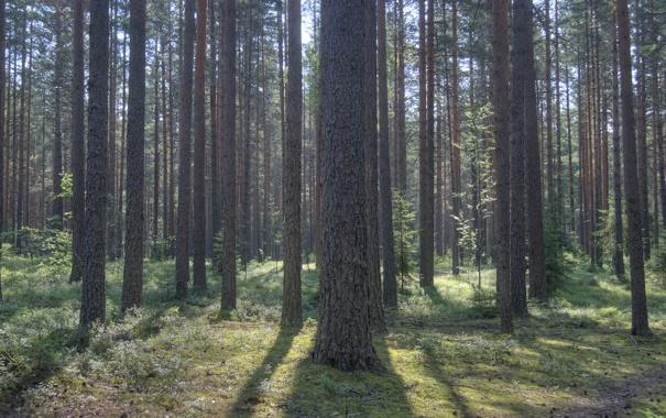 Фото обои лес, деревья, природа, фото, дерево, картинки для рабочего стола