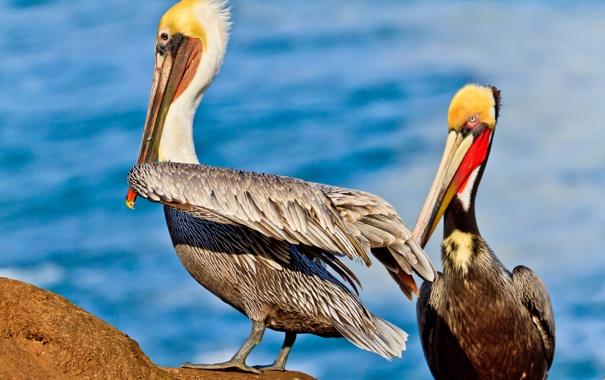 Фото обои птица, перья, клюв, пеликан