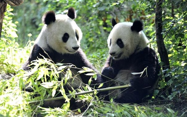 Фото обои листья, медведи, панда