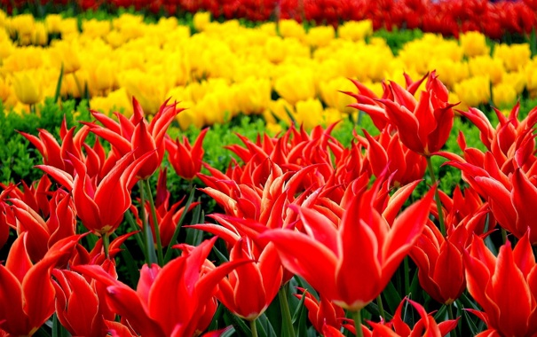 Фото обои цветы, парк, тюльпаны, клумба