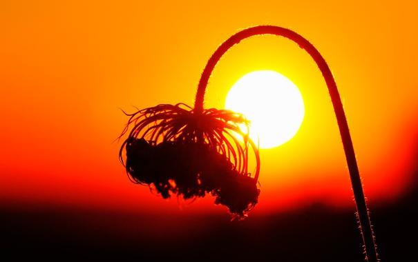 Фото обои солнце, закат, растение, стебель