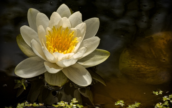 Фото обои кувшинка, нимфея, водяная лилия