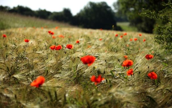Фото обои красные, маки, поле, цветы