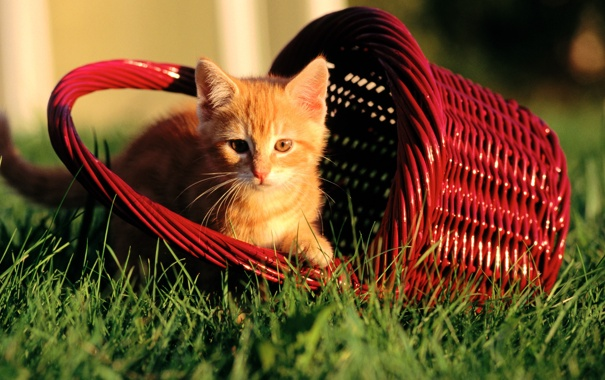Фото обои рыжий, трава, котенок, корзинка