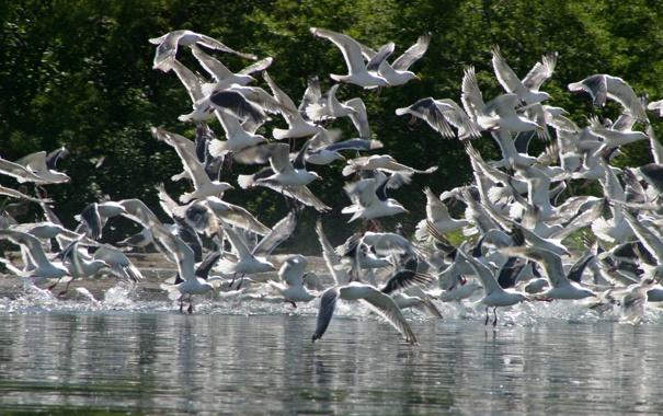 Фото обои лес, птицы, река, фото, чайки, стая