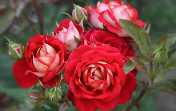 Фото обои макро, розы, лепестки, бутоны