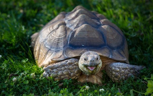 Фото обои крупный план, черепаха, клевер