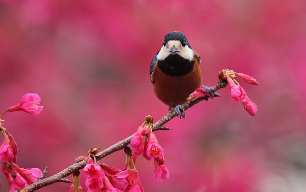 Фото обои цветы, фон, птица, ветка, весна, розовые