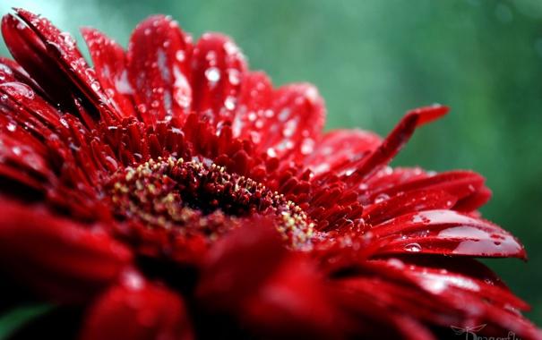Фото обои Макро, Цветы, Природа, Роса