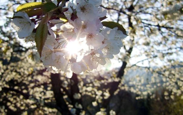 Фото обои цветок, солнце, лучи, вишня, весна