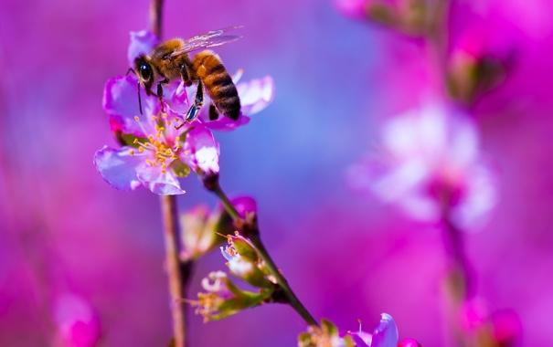Фото обои растение, насекомое, пчела, природа, цветок