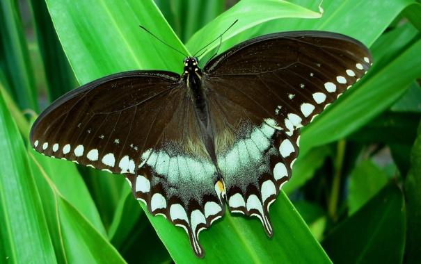 Фото обои тропики, бабочка, листва, парусник