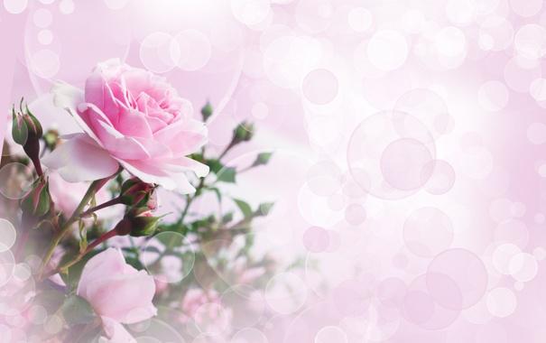 Фото обои цветок, роза, боке