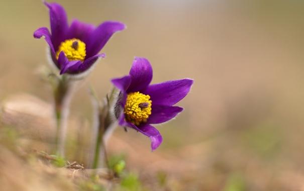 Фото обои зелень, макро, цветы, земля, весна, лепестки, подснежники
