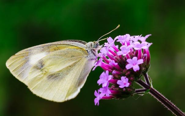 Фото обои цветок, фон, бабочка, крылья, фокус, насекомое