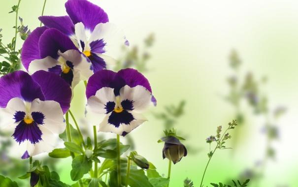 Фото обои цветы, анютины глазки, yellow, листики, garden, violet, white background