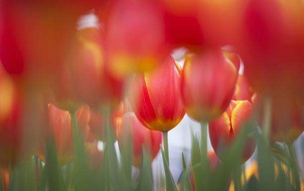 Фото обои поле, цветы, фокус, весна, тюльпаны, много