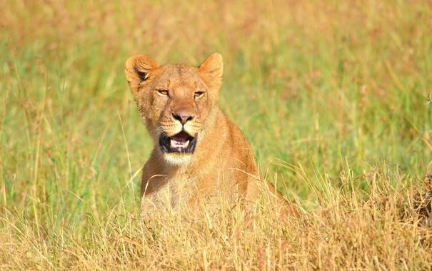Фото обои взгляд, морда, хищник, лев, саванна, львица