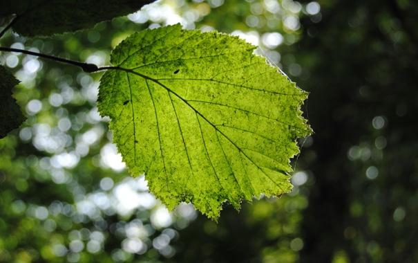 Фото обои зелень, лето, листья, природа, листва, листок, весна