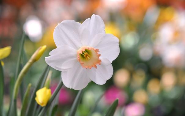 Фото обои белые, Нарцисс, цветок, лепестки, макро, фокус
