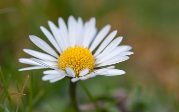 Фото обои цветок, лето, макро, ромашка