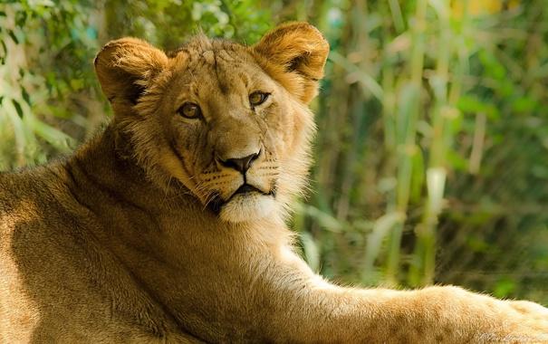 Фото обои взгляд, отдых, хищник, лев