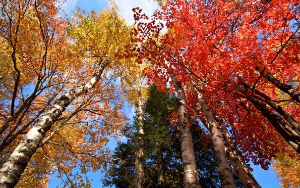 Фото обои осень, небо, листья, деревья, багрчнец