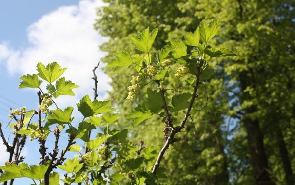 Фото обои небо, листья, ягоды, смородина
