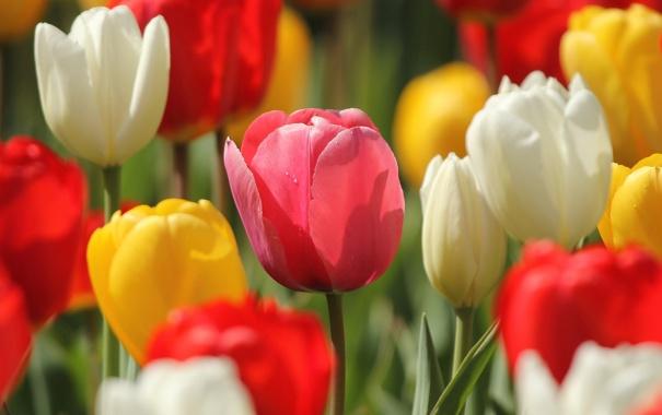 Фото обои макро, тюльпаны, бутоны