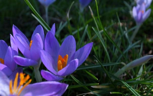Фото обои цветы, весна, крокусы, сиреневые