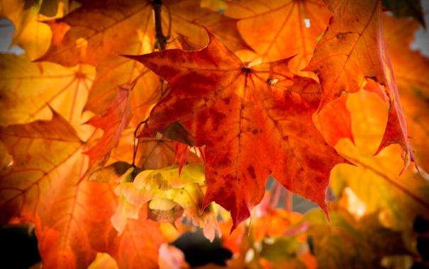 Фото обои осень, листья, клен