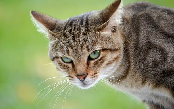 Фото обои кот, взгляд, голова