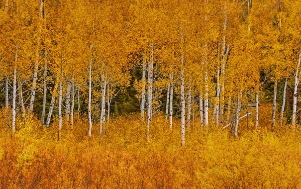 Фото обои осень, листья, деревья, Вайоминг, США, роща, Grand Teton National Park
