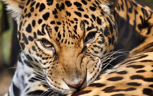 Фото обои морда, хищник, ягуар, panthera onca