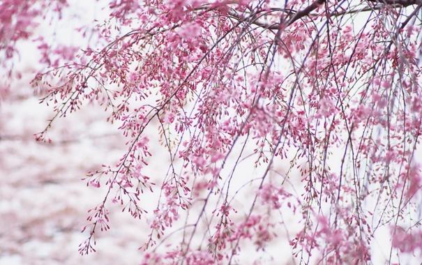 Фото обои небо, деревья, цветы, ветки, природа, весна, бутоны