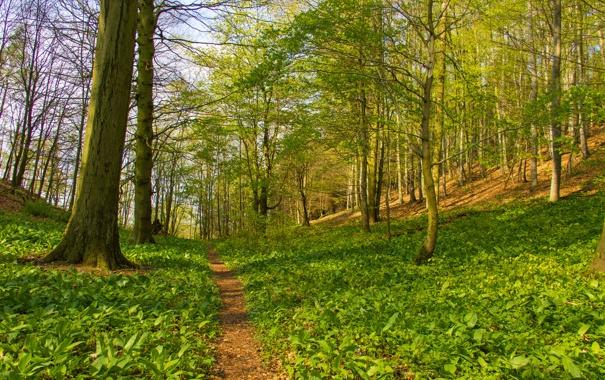 Фото обои лес, трава, деревья, весна, склон, тропинка