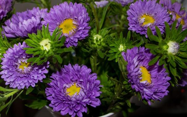 Фото обои лепестки, бутон, астра, цветение, сиреневая, tulips