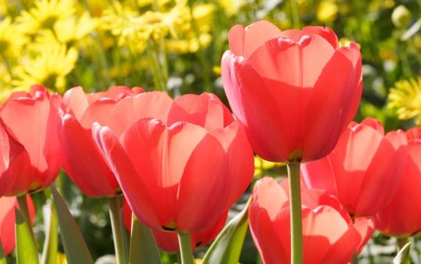 Фото обои цветы, красный, весна, тюльпаны, бутоны
