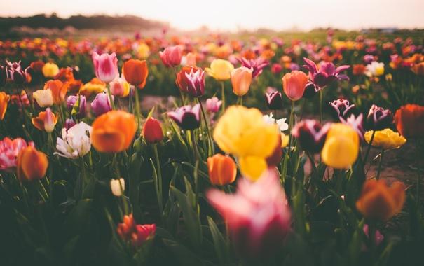 Фото обои цветы, тюльпаны, много