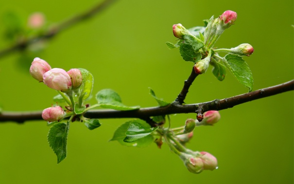 Фото обои яблони, ветка, начало, макро, цвет