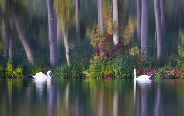 Фото обои осень, птицы, озеро, парочка, лебеди