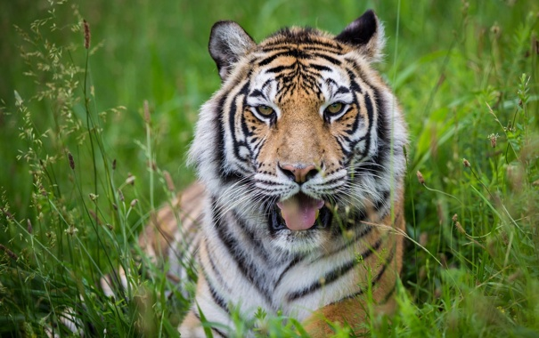 Фото обои язык, дикая кошка, морда, отдых, хищник, тигр