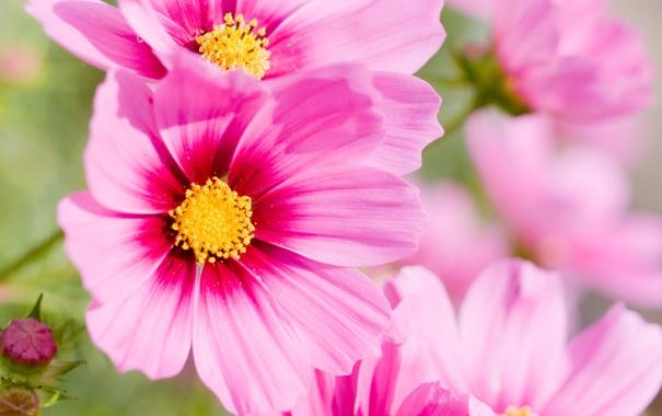 Фото обои цветок, лето, макро, цветы, розовый