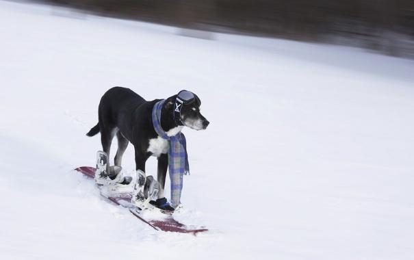 Фото обои друг, собака, лыжа