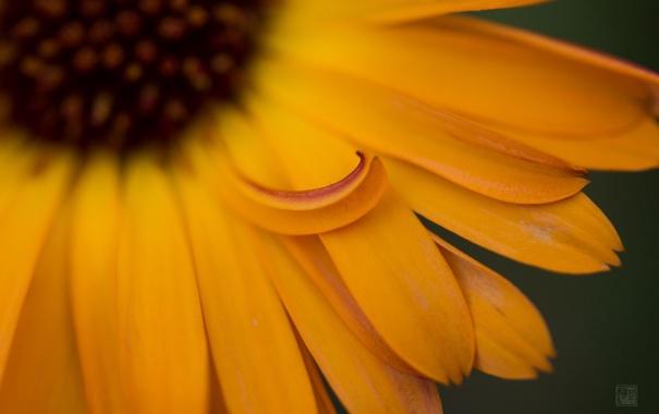 Фото обои цветок, лепестки, календула