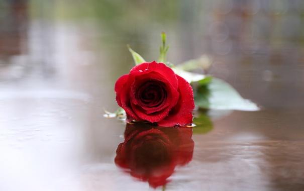 Фото обои роза, цветок, красная, блики, отражение, вода