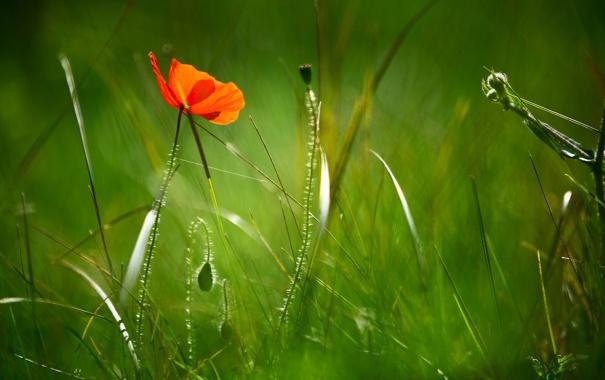 Фото обои зелень, поле, цветок, трава, макро, природа, мак