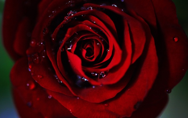 Фото обои капли, роза, красная, середина