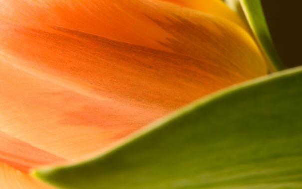 Фото обои цветок, макро, цветы, оранжевый, лист, размытость, Тюльпан