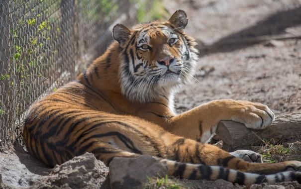 Фото обои морда, тигр, отдых, хищник, дикая кошка, зоопарк